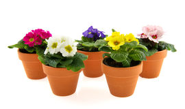 Pots with colorful Primroses. Earthenware pots with colorful primroses isolated over white Royalty Free Stock Images