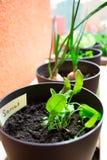 Pots d'usine avec l'oseille et les herbes Photographie stock libre de droits