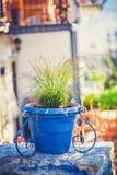 Pots d'usine de terre cuite vitrés par bleu remplis de Image libre de droits