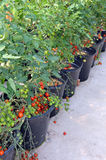 Pots d'usines de tomate-cerise Photos libres de droits