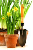 Pots of daffodils with garden  Royalty Free Stock Photography