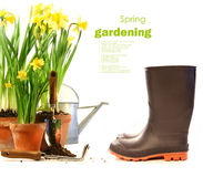 Pots of daffodils with rubber boots on white Royalty Free Stock Photo