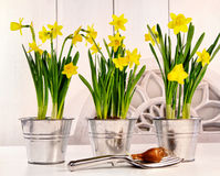 Pots of daffodils on table Stock Photos