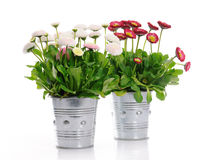 Pots with daisies Royalty Free Stock Photography