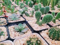Pots de cactus Photos libres de droits