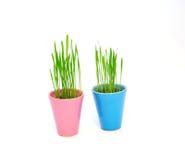 Pots de fleur colorés avec du blé vert d'isolement sur le blanc Photo libre de droits