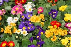 Pots de floraison en ressort de primevère dans la vente en gros 1 Image stock