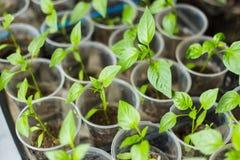 Pots de jeunes plantes de poivre Images stock
