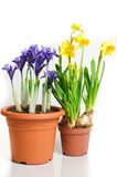 Pots of dwarf iris and daffodils Royalty Free Stock Photography