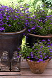 Pots filled with Lobelia Stock Image