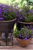 Pots filled with Lobelia stock image