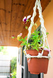 Pots of viola in the garden. Pots of flowers in the garden stock photos