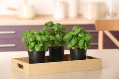 Pots with fresh green basil. On kitchen table stock photography