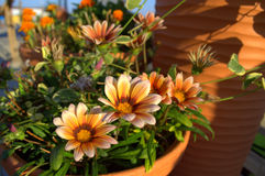 Pots of Gazania flowers. Gaza(Gazania) is a genus of about 30 species of annual and perennial herbaceous plants and shrubs rarely. Widely used as an ornamental Royalty Free Stock Photography