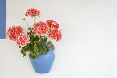 In pots geranium flowers fresh and beautiful.  stock images