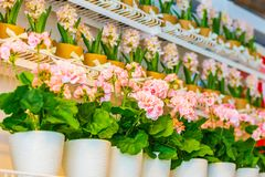 Pots of geraniums are on the shelf in a large flower shop. Pots of geraniums are on the shelf in a large flower stock images