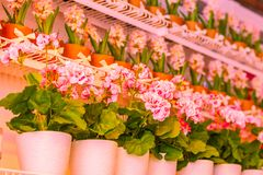 Pots of geraniums are on the shelf in a large flower shop. Pots of geraniums are on the shelf in a large flower royalty free stock images