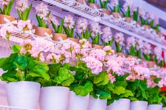 Pots of geraniums are on the shelf in a large flower shop. Pots of geraniums are on the shelf in a large flower stock photos