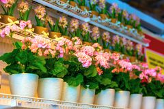 Pots of geraniums are on the shelf in a large flower shop. Pots of geraniums are on the shelf in a large flower royalty free stock photo