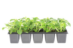 Pots of impatiens. Stock Photos