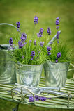 Pots Of Lavender. With watering can in the garden Royalty Free Stock Images