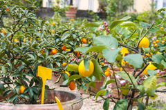 Pots with lemon trees in a greenhouse Royalty Free Stock Photo