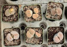 Pots with lithops Stock Photography