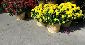 Pots of Mums. Yellow and red Mums with copy space royalty free stock photo