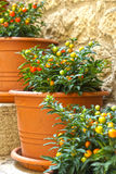 Pots with ornamental nightshade on the stairs Stock Photos