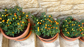 Pots with ornamental nightshade on the stairs Stock Photo