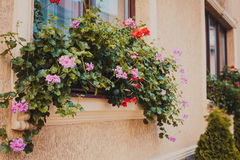 Pots with pelargonium. Plants on a windowsill. Before beige building facade planted arborvitae Royalty Free Stock Images