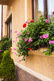 Pots with pelargonium. Plants on a windowsill. Before beige building facade planted arborvitae Royalty Free Stock Photography