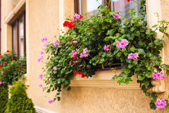 Pots with pelargonium. Plants on a windowsill. Before beige building facade planted arborvitae Royalty Free Stock Photos