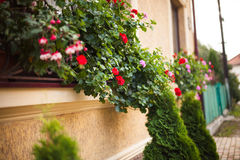 Pots with pelargonium. Plants on a windowsill. Before beige building facade planted arborvitae Stock Photography