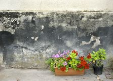 Pots with pelargonium and red geranium flowers on a grunge wall background. Pots with pelargonium and red geranium flowers on a grunge concrete wall background Stock Photography