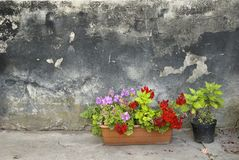 Pots with pelargonium and red geranium flowers on a grunge wall background. Pots with pelargonium and red geranium flowers on a grunge concrete wall background Stock Photo