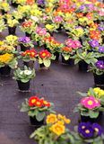 Pots of Primroses and VIOLETS for sale in the greenhouse. In spring Royalty Free Stock Image