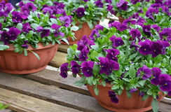 Pots of purple pansies Royalty Free Stock Image