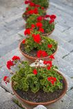 Pots with red flowers Royalty Free Stock Photos