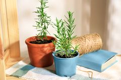 Pots with rosemary. On table Stock Photo
