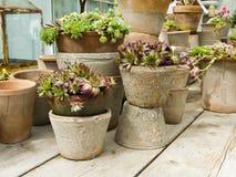 Pots with sedum plants Stock Image
