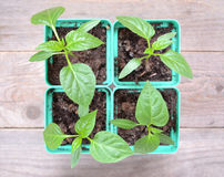 Pots of seedlings of pepper Royalty Free Stock Image