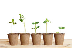 Pots with seedlings stand in a line isolated over white Royalty Free Stock Image