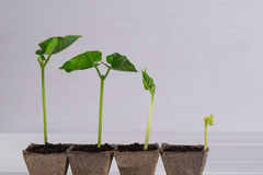 Pots with seedlings stand in a line Stock Photos