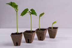 Pots with seedlings stand in a line Royalty Free Stock Photo