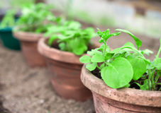 Pots with seedlings. Stock Image
