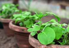 Pots with seedlings. Stock Photography