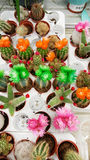 Pots with small blooming cacti .succulent plants Royalty Free Stock Photography