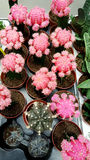 Pots with small blooming cacti .succulent plants. Pink cactus on the market Royalty Free Stock Photo
