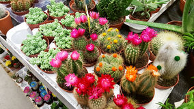 Pots with small blooming cacti .succulent plants. Red and yellow cactus on the market Royalty Free Stock Image